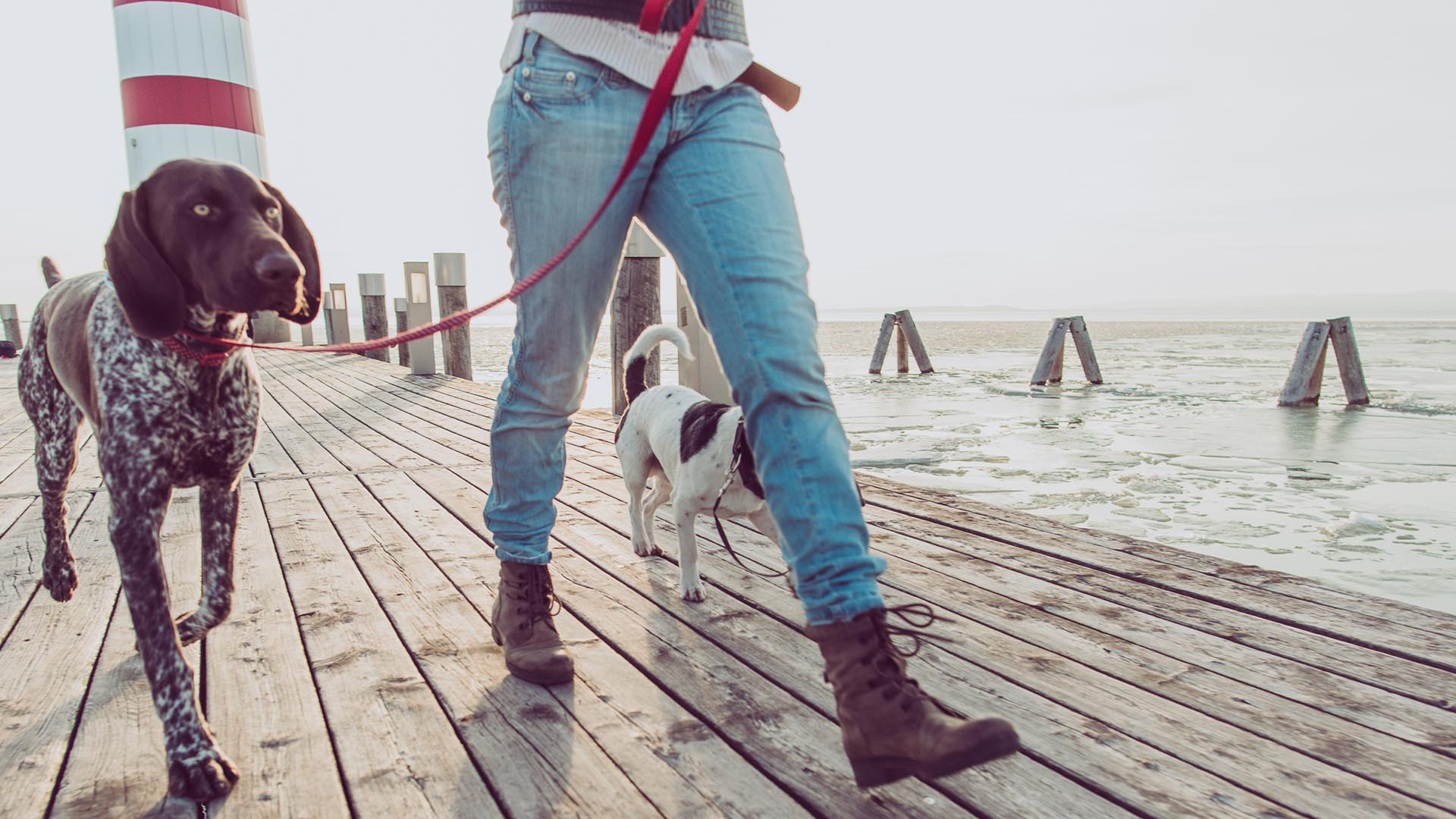 German Short Haired Pointer walking with owner on a pier